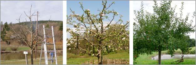 Apfelbaum auf der Streuobstwiese in Cottenbach im Jahresverlauf